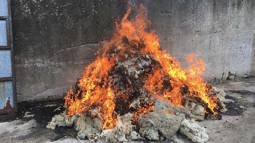 Farmers opt to discard and burn fleeces in response to wool price collapse