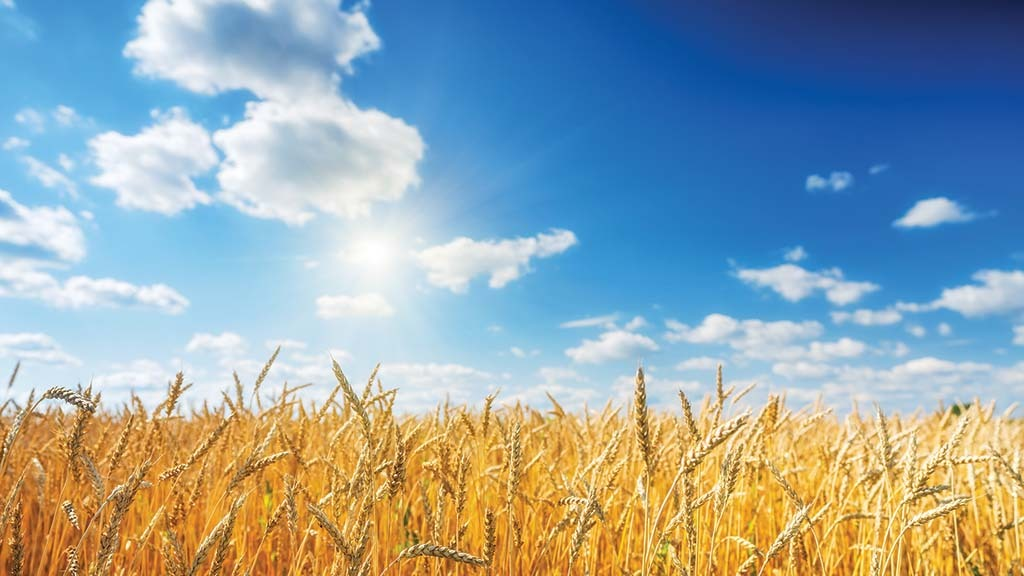 New Zealand farmer breaks wheat yield world record for the second time