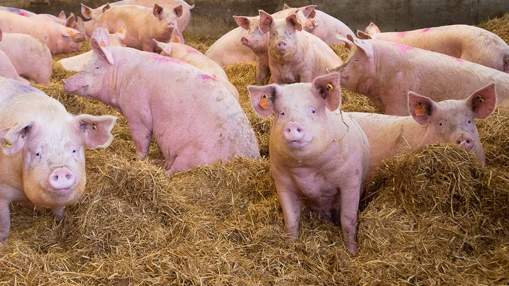 Bedding straw mycotoxins increasing risk to pig health
