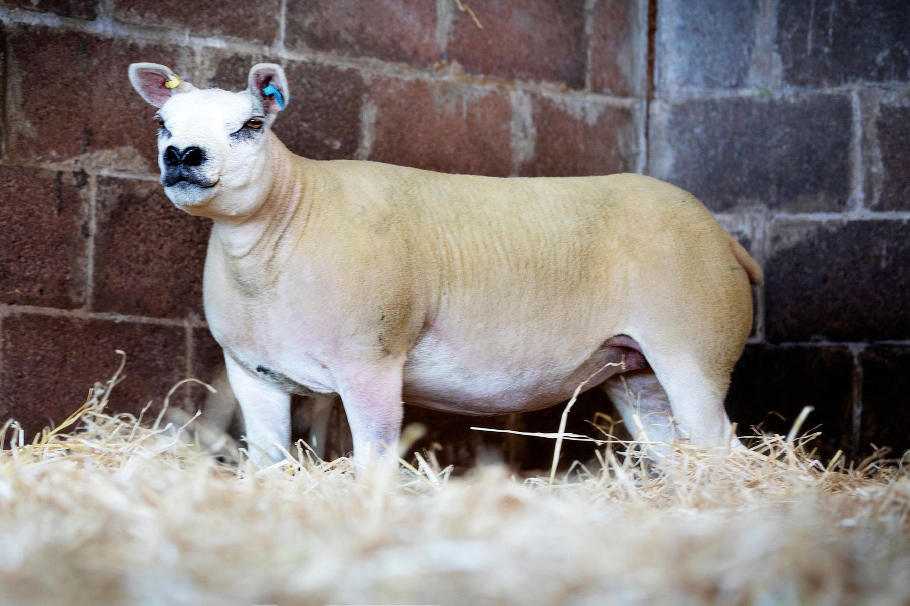 Summer Sensation online Texel female sale peaks at £6,000