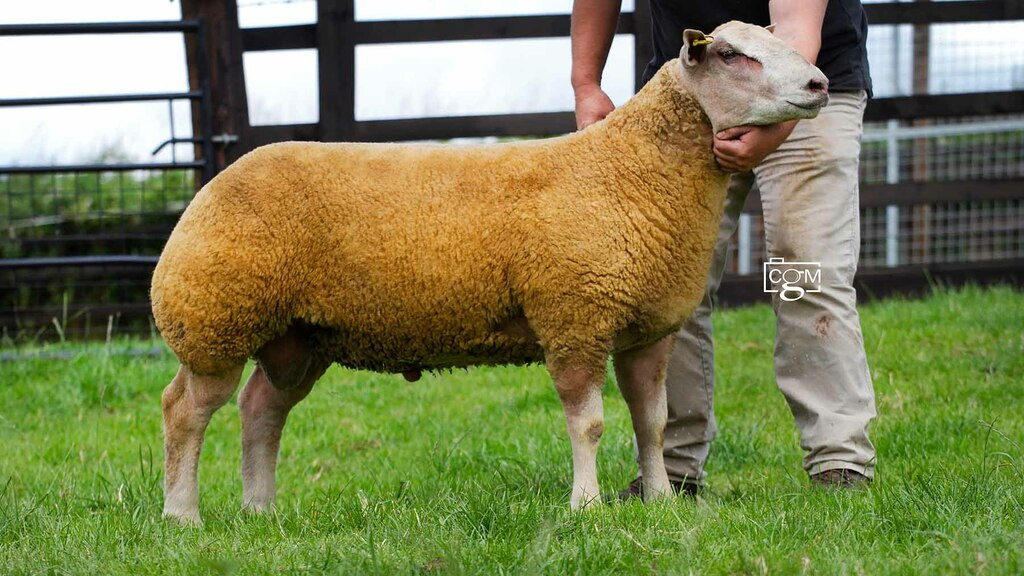 Foxhill flock tops Charollais at 16,000gns