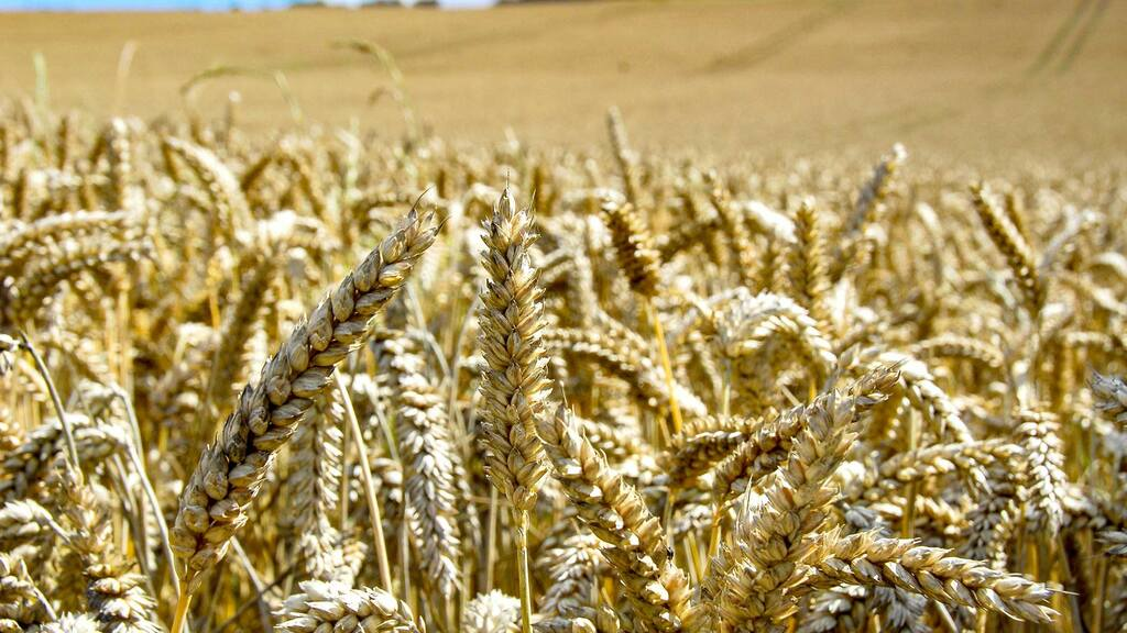 Early concerns over wheat protein levels