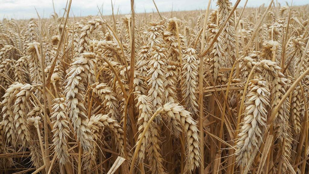Imports to weigh on domestic wheat price