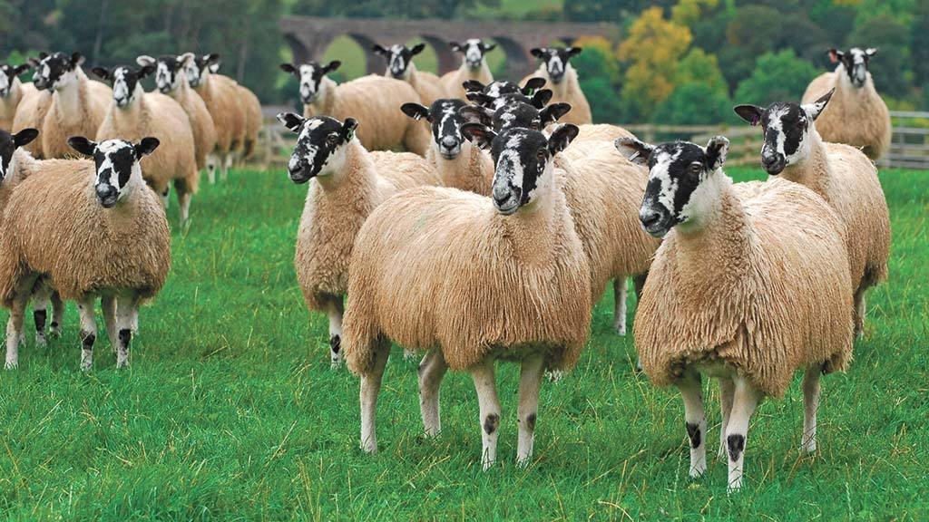 Sexed sheep semen could be used by farmers to speed up the rate of genetic gain in their flock.