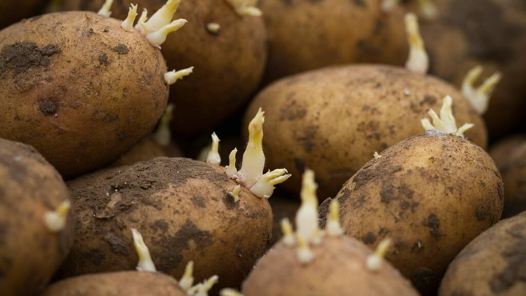 AHDB co-ordinates potato sprout suppression position paper