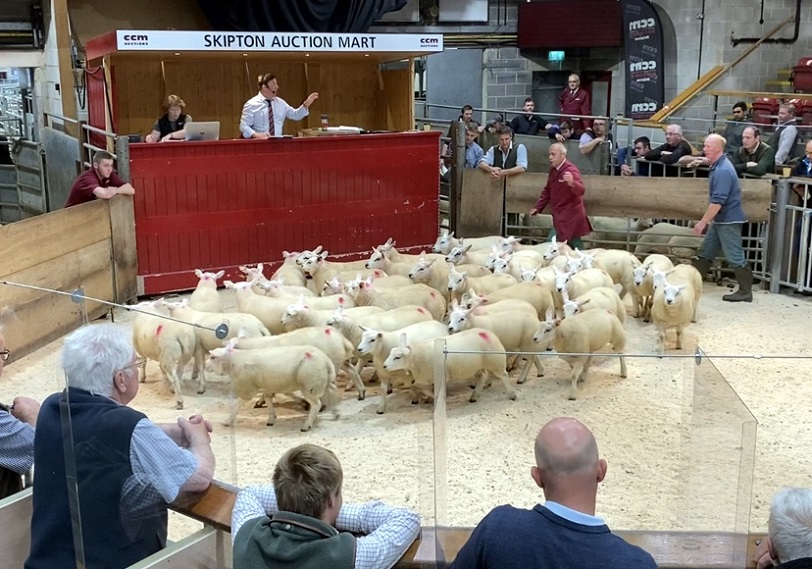 Numbers and averages up at Skipton's opening store lamb sale