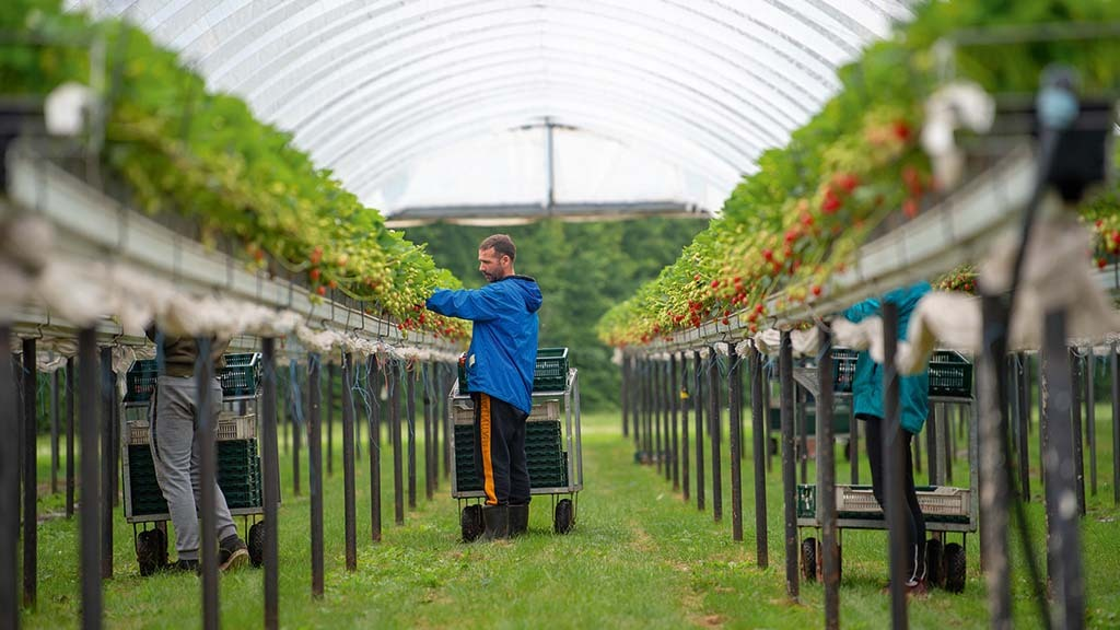 Infrastructure investments include 400km of tabletops in polytunnels.