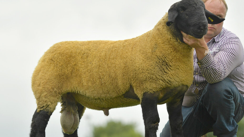 A ram lamb from the Spittal flock which sold for 5,100gns