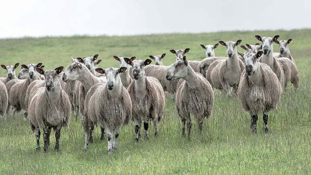 The Firth Bluefaced Leicester flock was established at Lilyburn, Peniculk, in the 1980s.