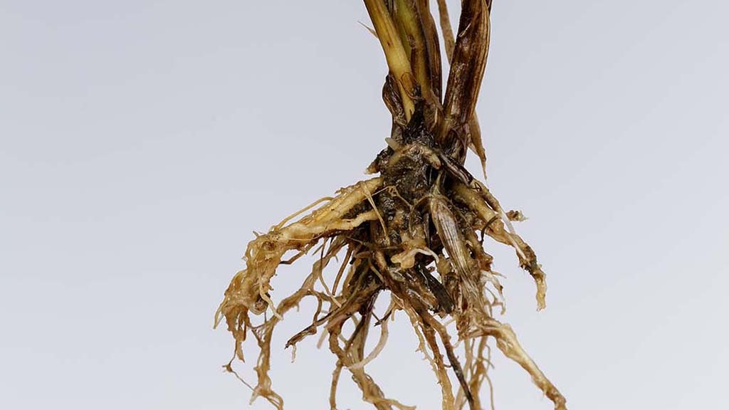 Top tips for avoiding take-all disease in Scottish second wheats