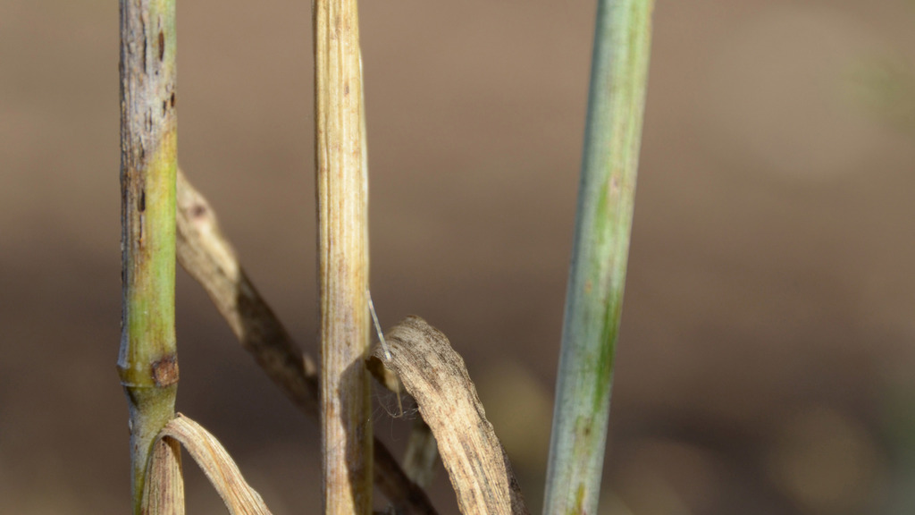 Rare cereal disease found in trial plots at Oak Park
