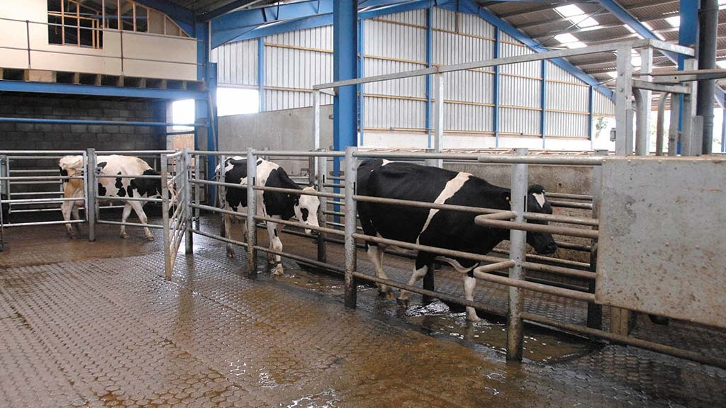 Be vigilant against environmental mastitis in warm and wet conditions