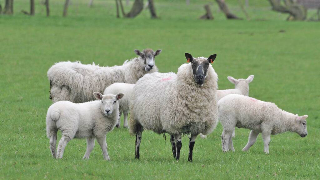 No deal could lead to premature slaughter of 'millions of lambs'