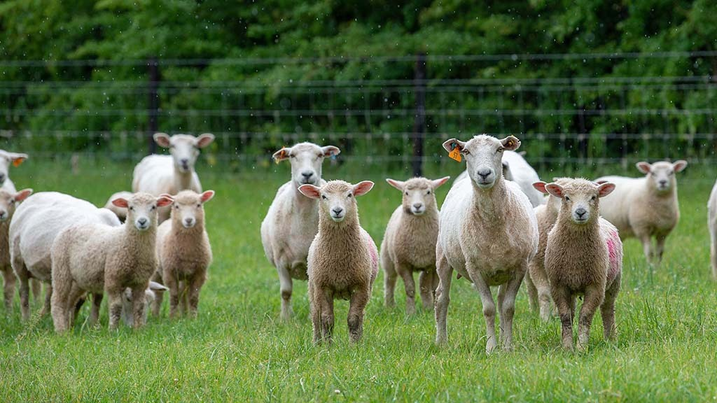 New Zealand Romney hoggs with lambs at foot.