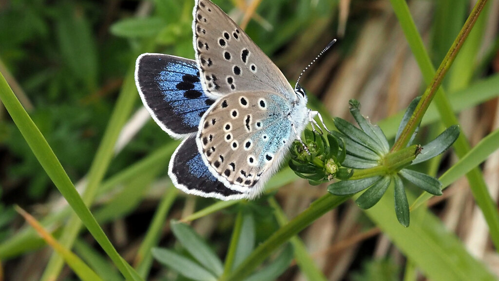 Cattle help bring endangered butterfly back from brink