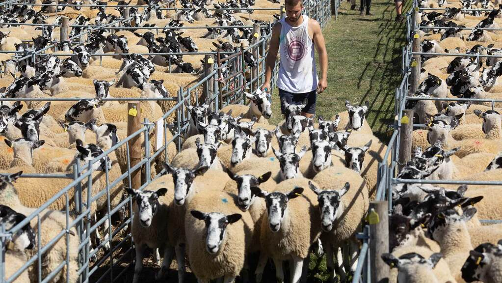 Bouyant trade with increased averages at the Thame summer sheep sale