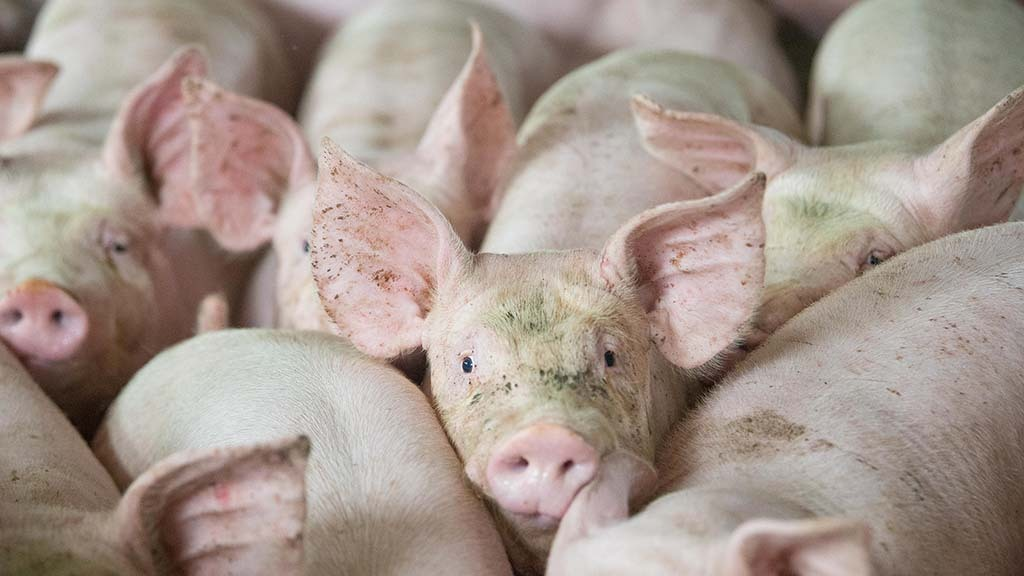 Increase in slaughterings and supplies sees pig prices ease