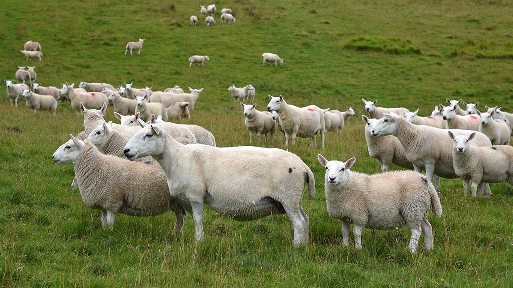 North Country Cheviot ewes and lambs.