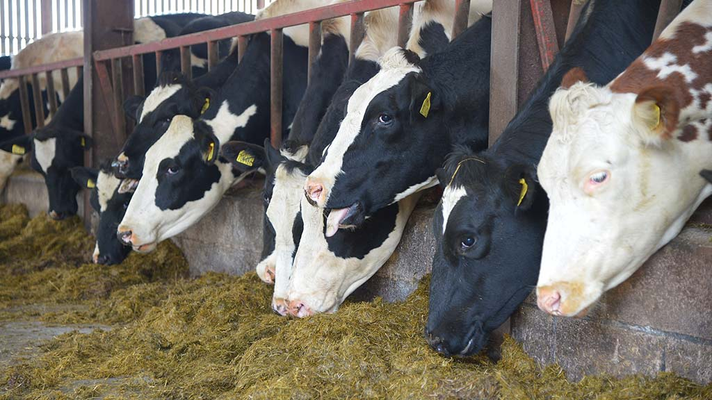 Successful transition for autumn calving herds