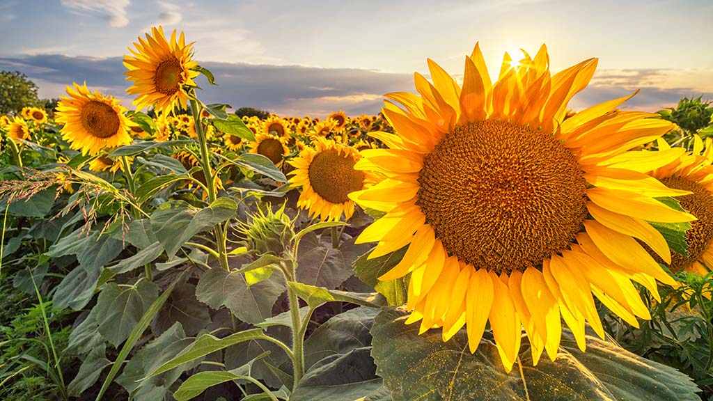 Sunflower seed could cap oilseed rape prices