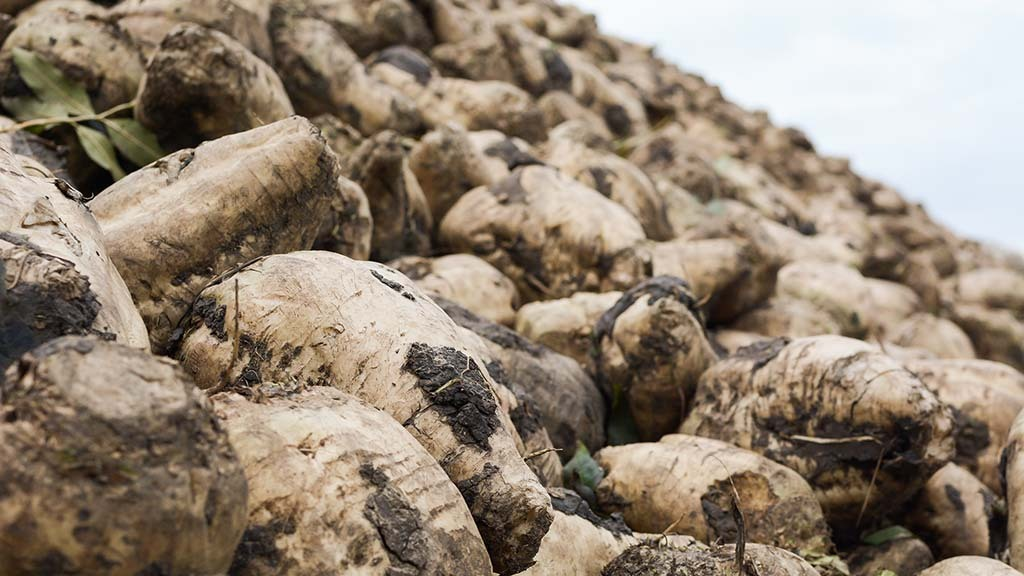 Yield and sugars 'well down' as beet harvest commences in Lincolnshire