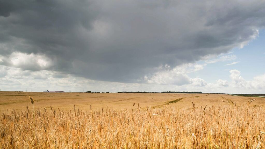 Fears over wheat quality as wet weather continues