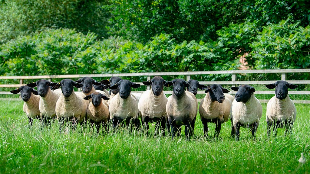 The Salton Suffolk flock consists of 50 breeding ewes