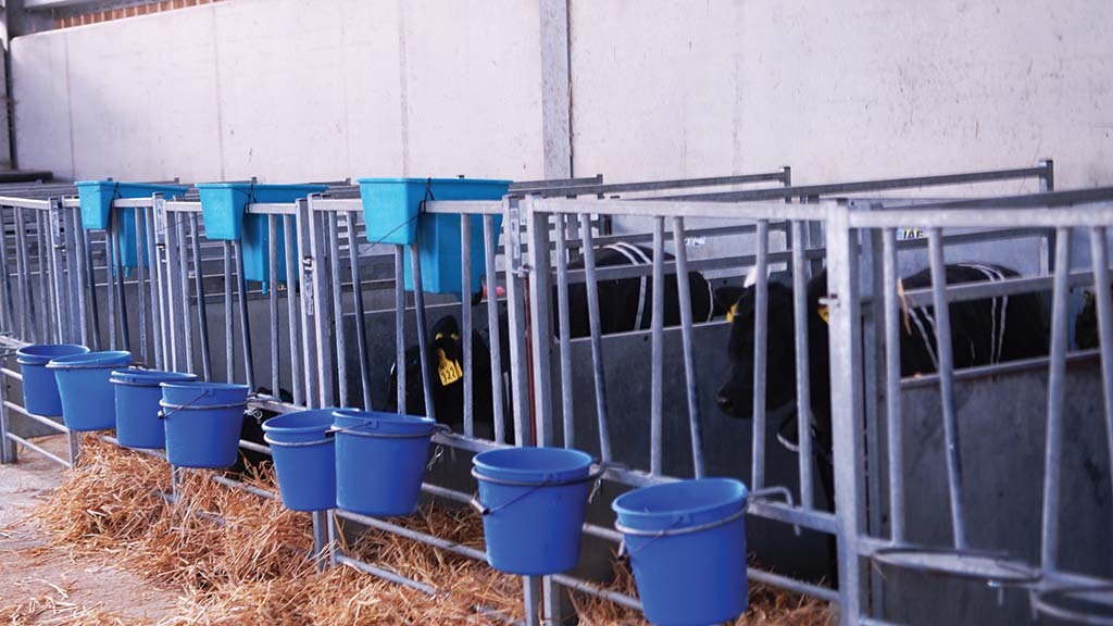 Calves receive the exact amount of milk replacer they need at each feed.