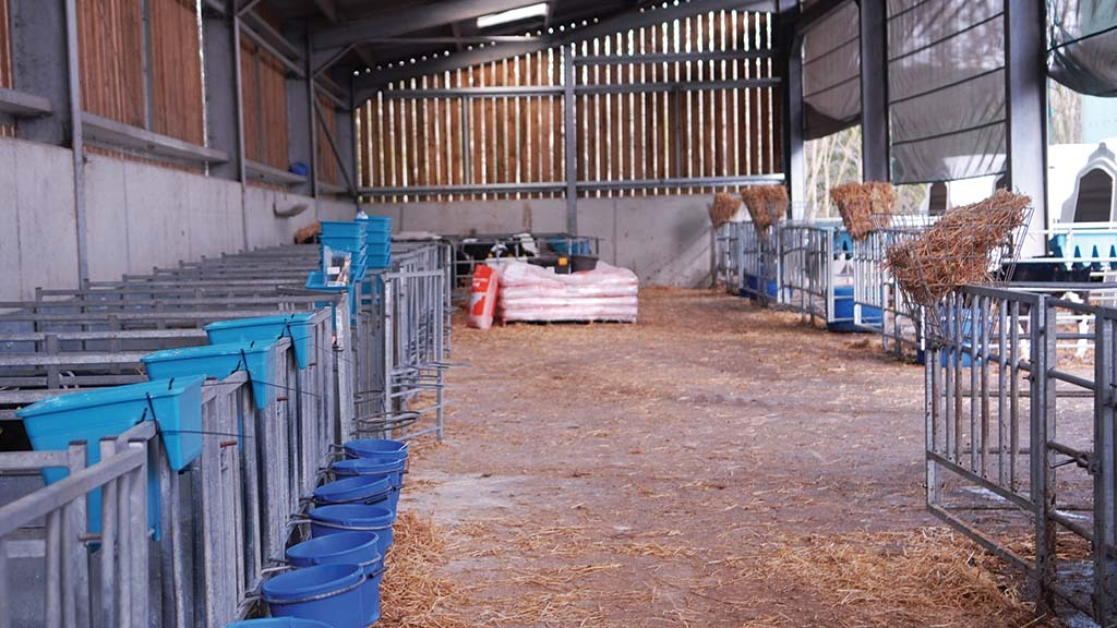 Calves go into individual calf pens for seven to 10 days before moving into large airy hutches.