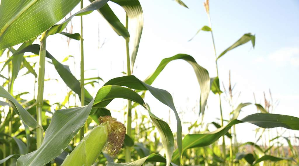 Good maize preservation could be vital this year to make up for low grass stocks