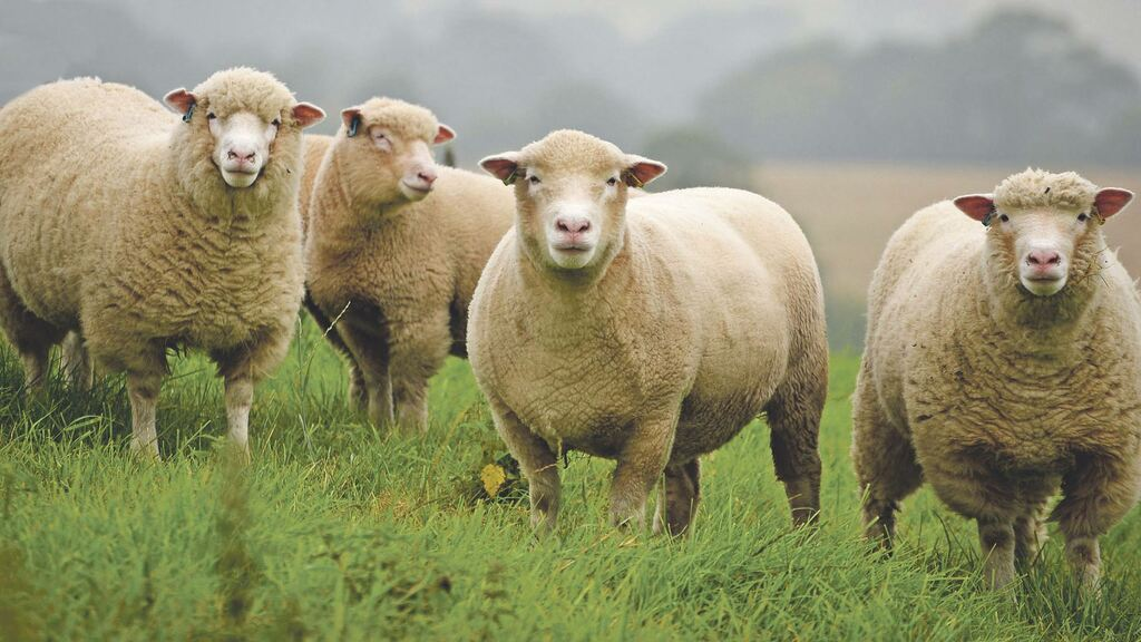 'Dangerous' for UK sheep sector to be so heavily reliant on EU market, warns Truss