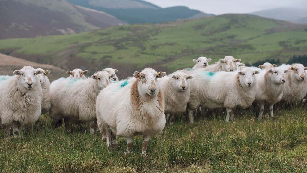 Profitable year for sheep meat exports