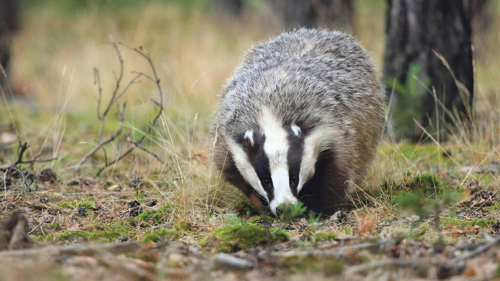 Science has shown there are double the amount of diseased badgers than cattle reactors.