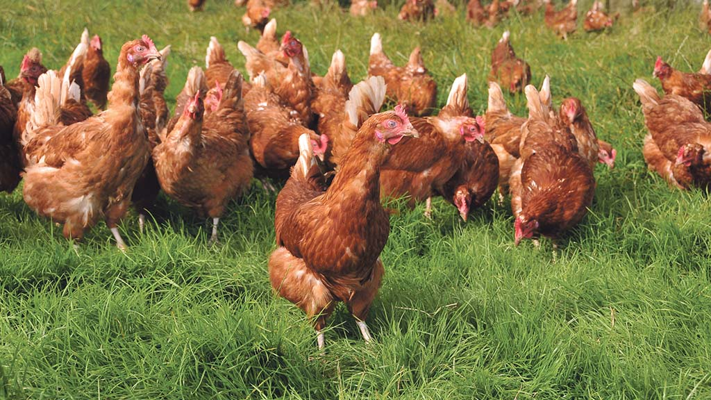 What to consider when getting into free range egg production