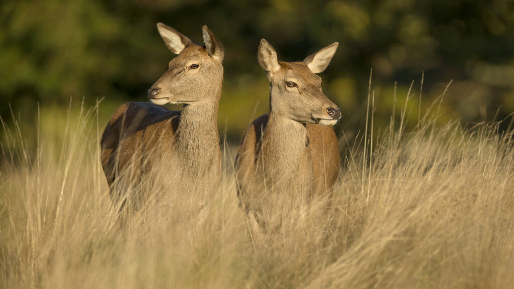 National Trust's deer herd culled after bovine TB outbreak