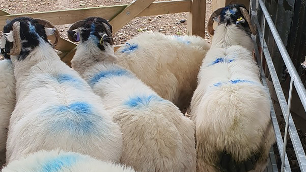 79 sheep worth thousands of pounds stolen from moorland