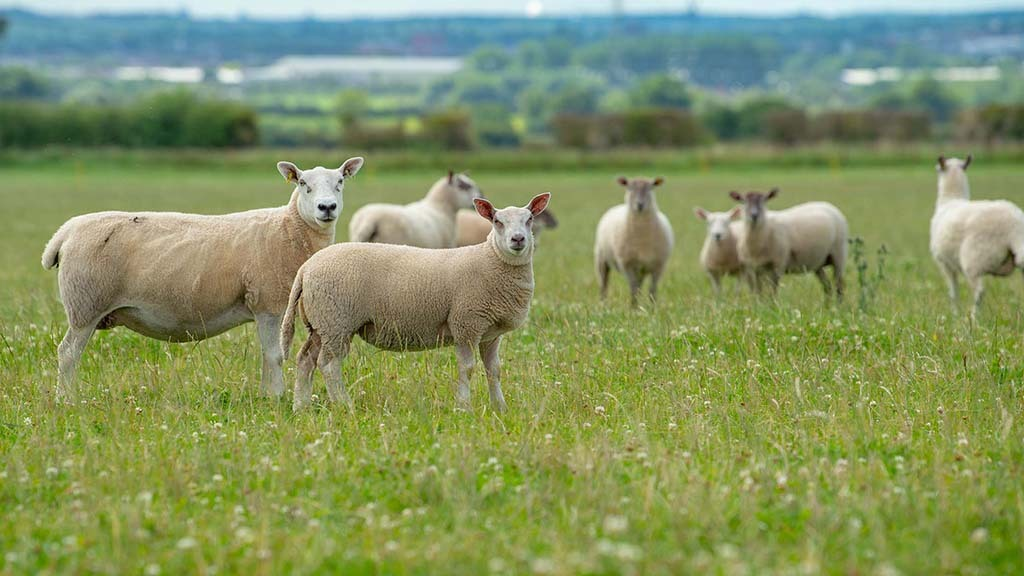The Johnson's keep 230 ewes, a mixture of North Country Mules, Cheviots, Scotch Halfbreds, Texels and Texel crosses.