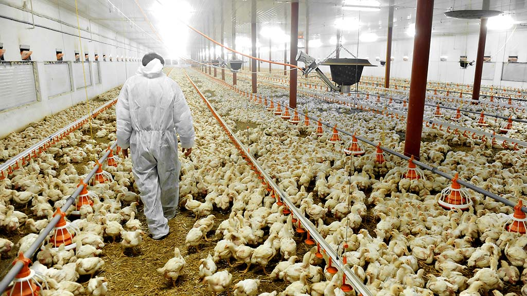 Pilgrim's Pride is one of the largest chicken producers in the US. Getty images.