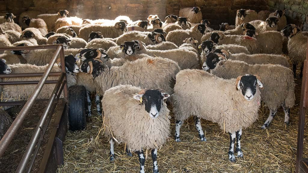 'Social distancing' in sheep could cure flock of maedi visna
