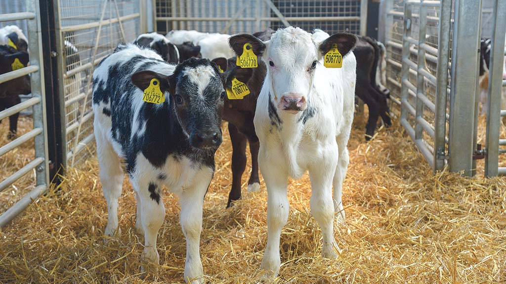 Autumn born calves are the preferred option in a 24-month birth to beef system