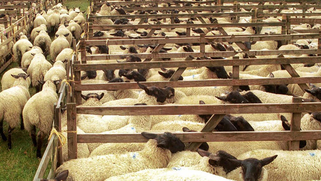 Domestic demand and NZ imports dip supports lamb prices