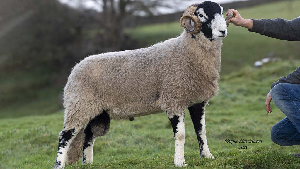 Season's final Swaledale ram sale tops at £38,000 at Hawes