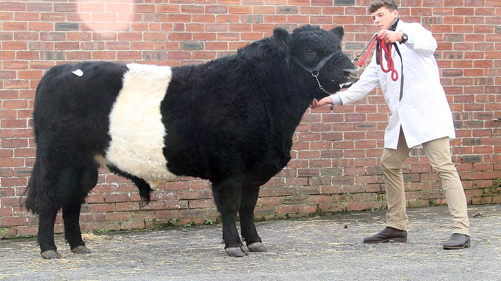Belted Galloways sell to 8,000gns at Castle Douglas