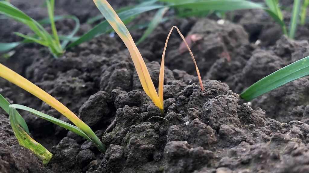 Frit fly outbreaks reported after spring oats