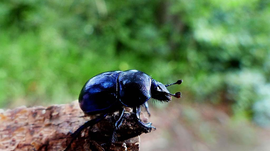 Dung beetles play a vital role in parasite management