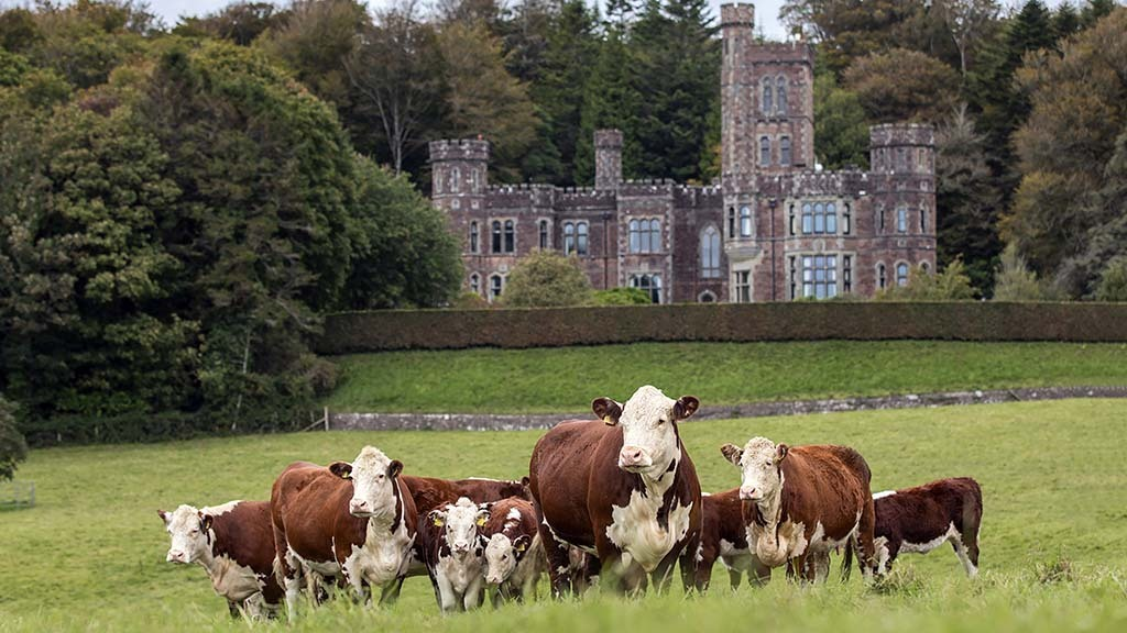 Herefords have been at the Hean Castle Estate since 2013