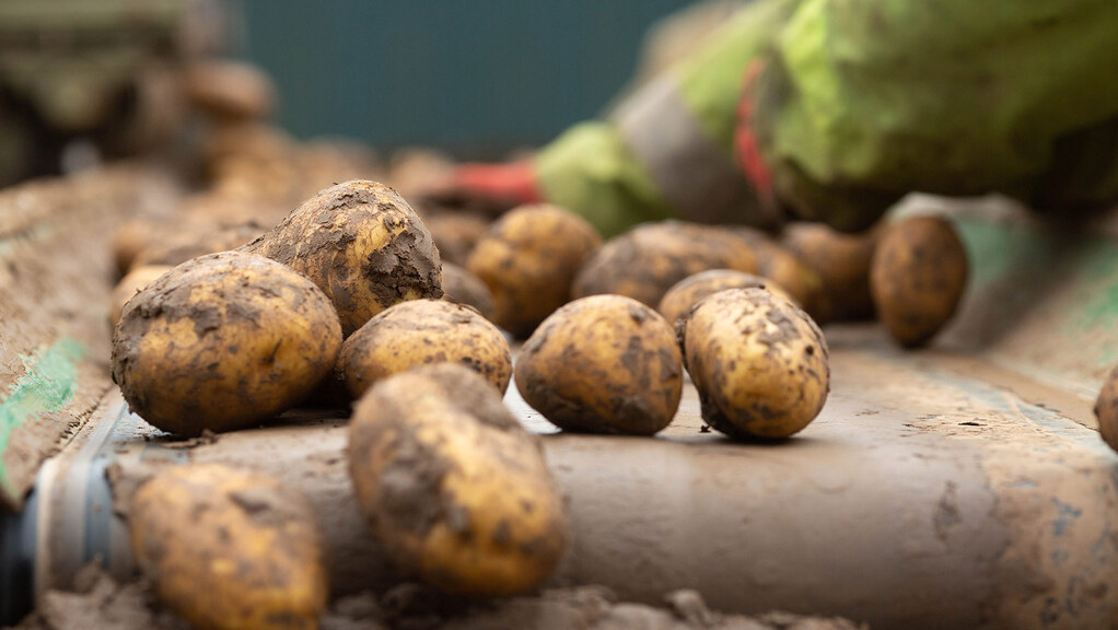 Potato production up despite smaller planted area