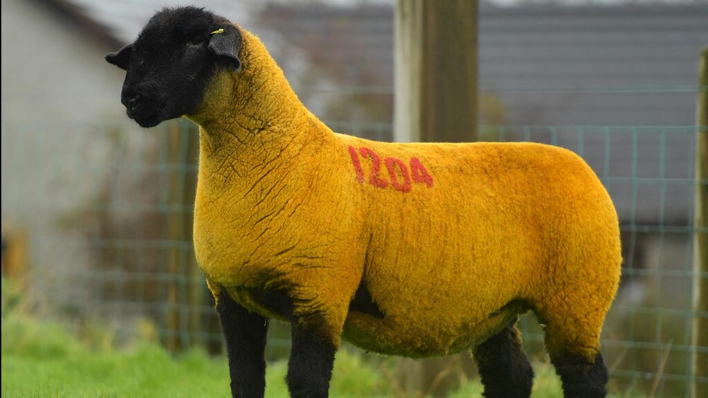 Three Nations Suffolk sale tops at 15,000gns