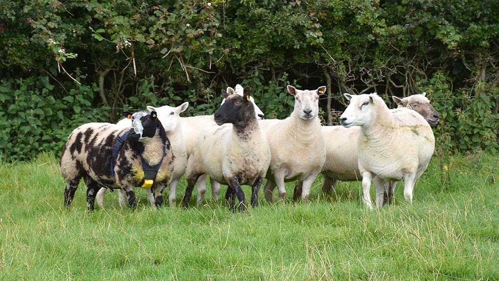 The flock consists of predominantly Lleyn ewes, alongside 50 Clun Forest, 50 Ile de France and 25 Dutch Spotted ewes.