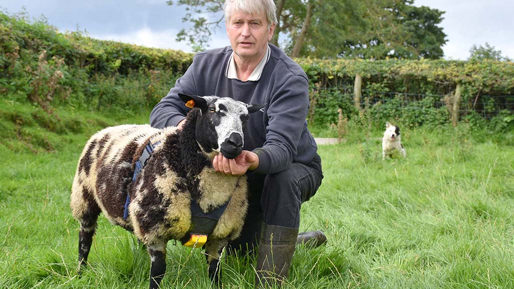 Edward Adamson has introduced 25 Dutch Spotted sheep to his flock, which totals 800-head altogether.
